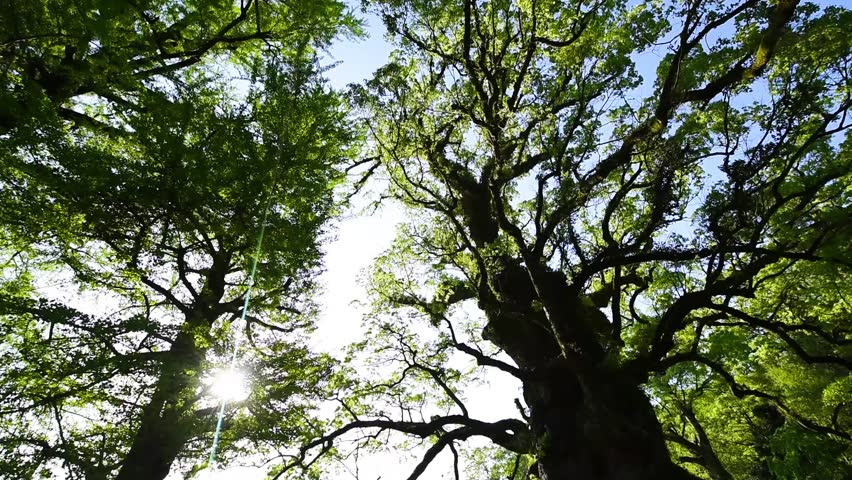Big tree of acamphor tree | Shutterstock HD Video #1009679870