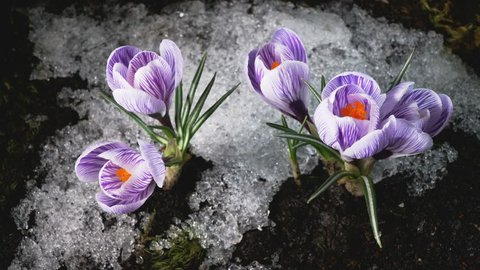 Early spring. Snow melting and crocus flower blooming. Time lapse. Close up