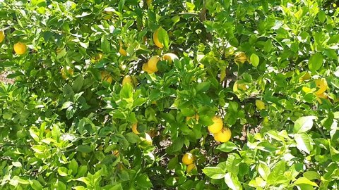 Lemon. Ripe lemons hanging on a lemon tree. Lemon tree, yellow lemons grow on a tree