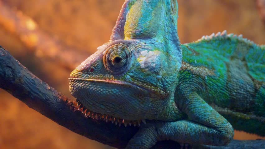 funny portrait Veiled Chameleon close-up.