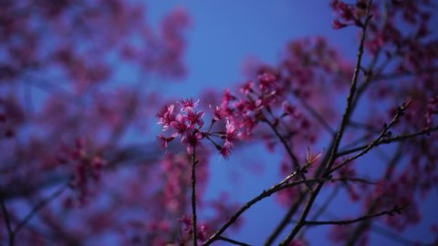 Spring flower cherry sakura tree branch blossom background, Cherry sakura tree flower blossom spring