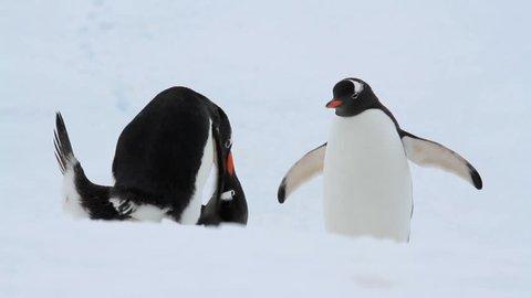 Gentoo Penguins in Antarctica.