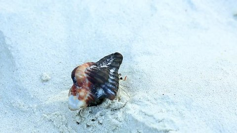 Hermit crabs inhabit in unoccupied gastropod shells, that need to be changed to larger sizes when they grow. This hermit crab is emerging from the shell, after ensuring there is no threat nearby.
