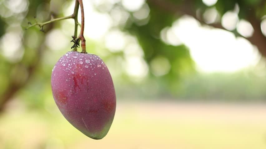 Header of mango