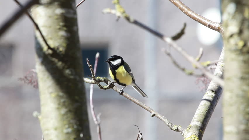 The bird a titmouse big sits on mountain ash branch and makes different sounds
