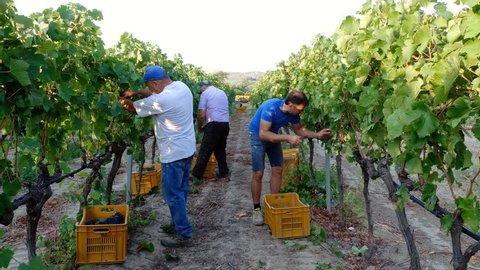 South of Italy: Farmers in vineyard Harvesting grape