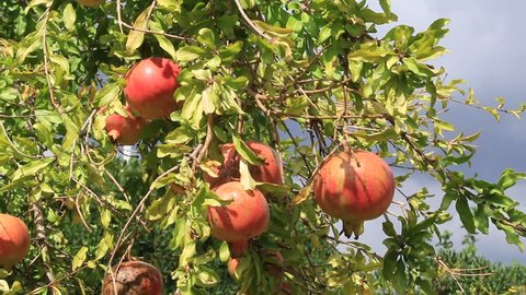 ripe pomegranate fruits growing on tree