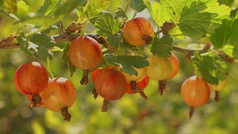 Large juicy ripe gooseberries growing on organic gooseberry berries bush branch