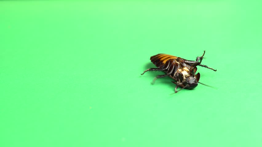 One cockroach spinning on its back and trying to stand on its paws. Green screen | Shutterstock HD Video #1010062130