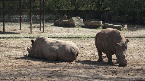 Two southern white rhinoceros (Ceratotherium Simum Simum) resting at rest