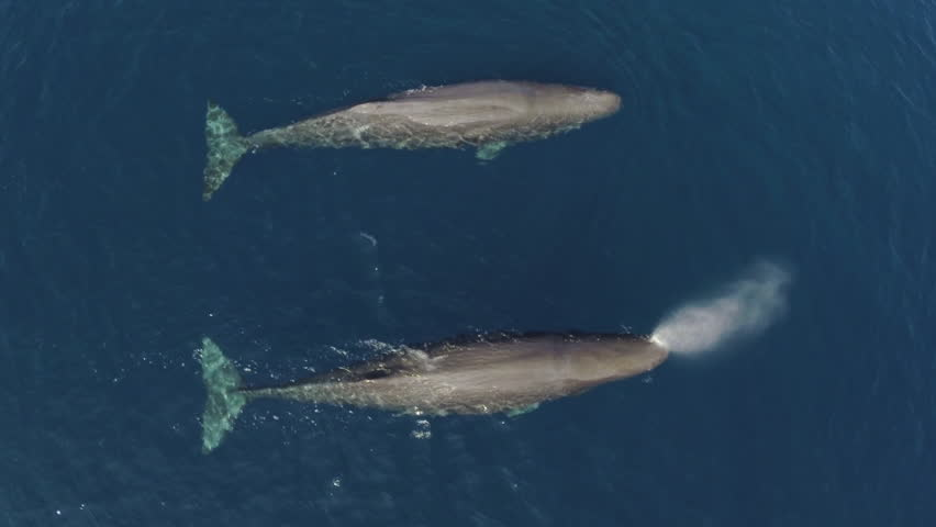 Two sperm whales swimming in calm blue ocean, aerial view