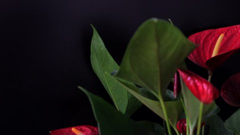 Beautiful flowers of ripe red anthuriums with green leaves. Camera moves right. 4k