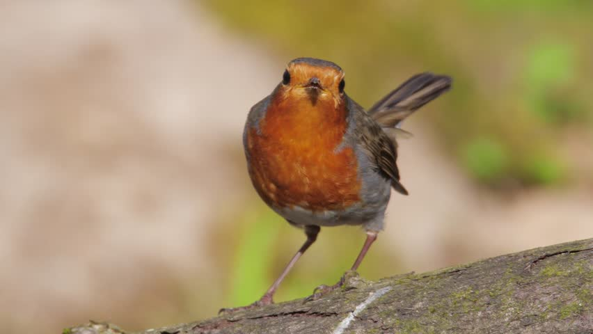 European robin. Displaying male in springtime. Erithacus rubecula. | Shutterstock HD Video #1010111240
