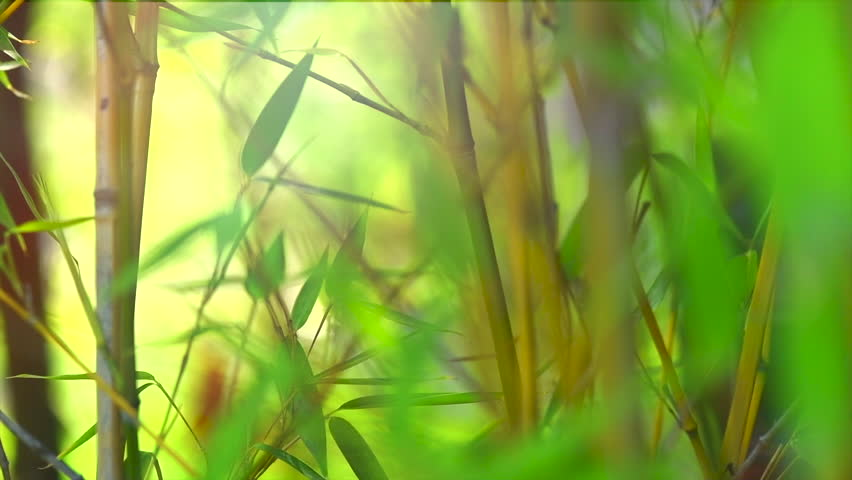 Bamboo. Bamboos Forest. Growing bamboo in japanese garden swaying on wind. Slow motion 120 fps, 4K UHD video 3840x2160
