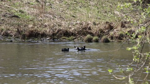 Bald-coot (lat. Fulica atra) are fighting in the lake. Coot fight in native habitat.