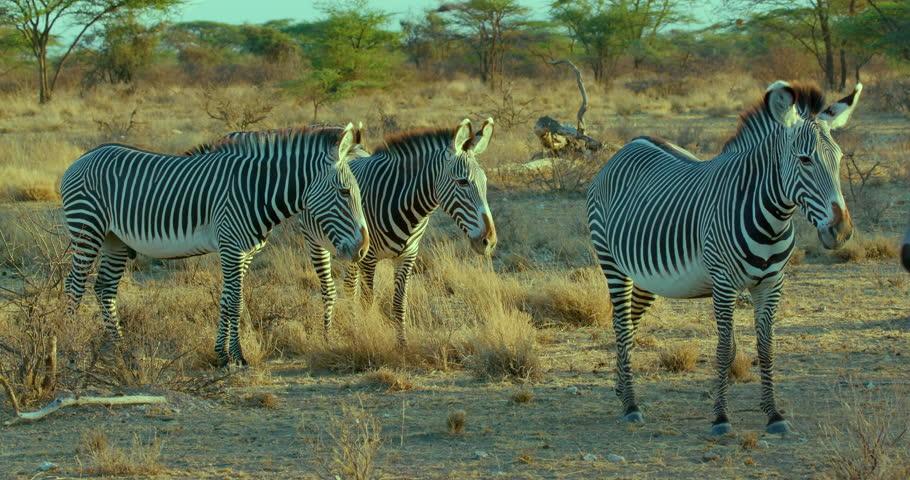 Grevy'S Zebras Observing Burchell'S Zebras Grazing; Samburu Kenya Africa