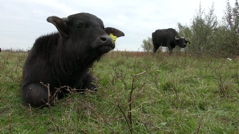 African buffalo or Cape buffalo (Syncerus caffer): rehabilitation in Ukraine.