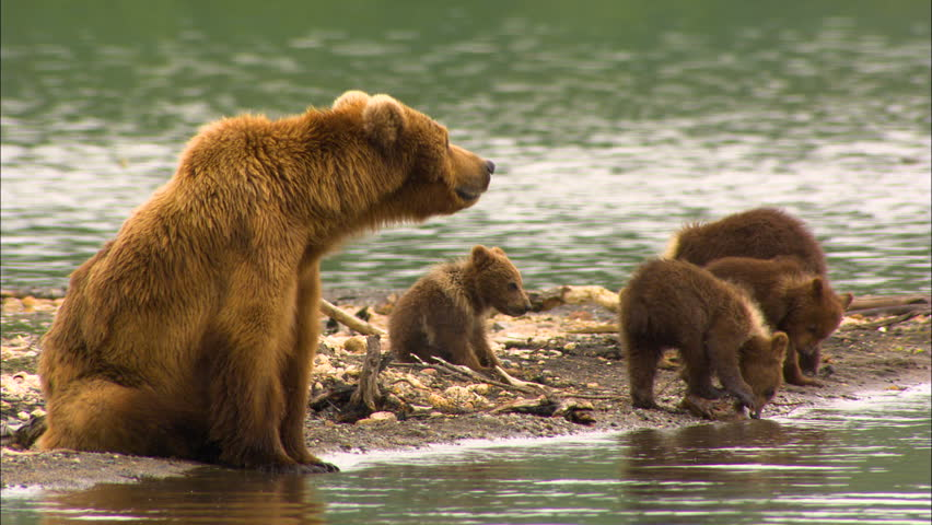 Mother brown bear and four cubs by the shore in remote mountain wilderness Katmai National Park and Reserve Alaska USA | Shutterstock HD Video #1010306990