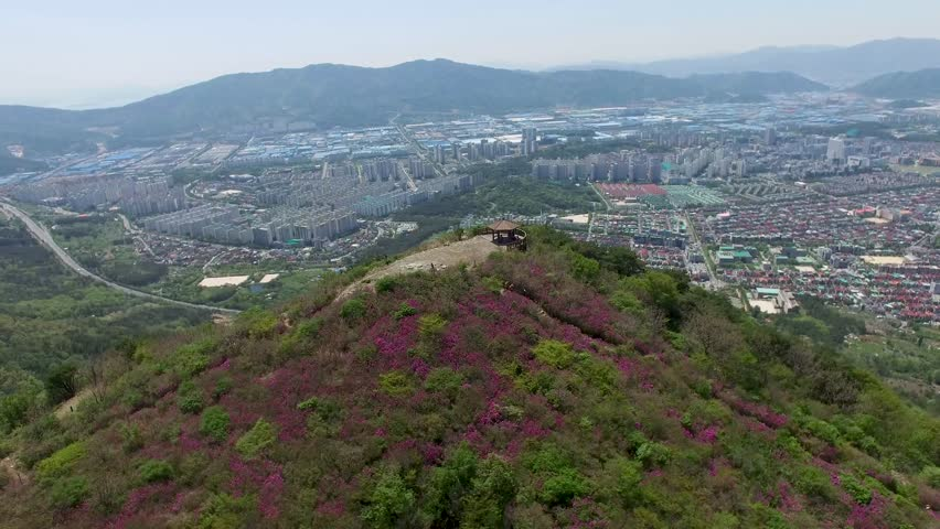 Cheoljjuk Royal Azalea Blossom Blooming in Bieum Mountain in Changwon , South Korea, Asia Apr-25-2018. Cheoljjuk is korean name of Royal Azalea