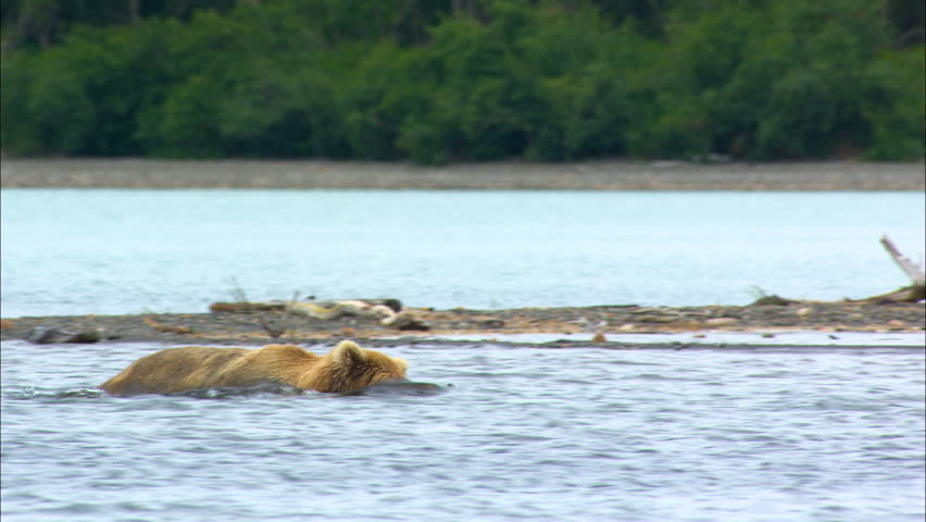 Brown bear swimming near mother and four cubs in remote mountain wilderness Katmai National Park and Reserve Alaska America