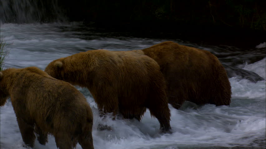Katmai National Park and Reserve brown bears in the wilderness hunting for fish wild river Alaska USA
