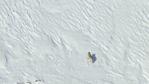 Aerial view of wild Grey Yukon Wolf hunting for food snowy tundra mountain Wilderness of Alaska USA