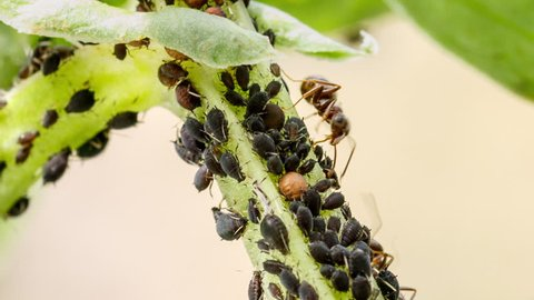 Ant having a feast on honeydew of aphids. Farmer ant milks plant-louses stroking them with antennae and then sucks the sugar-rich sticky excretions. Mutualistic relationship between different species