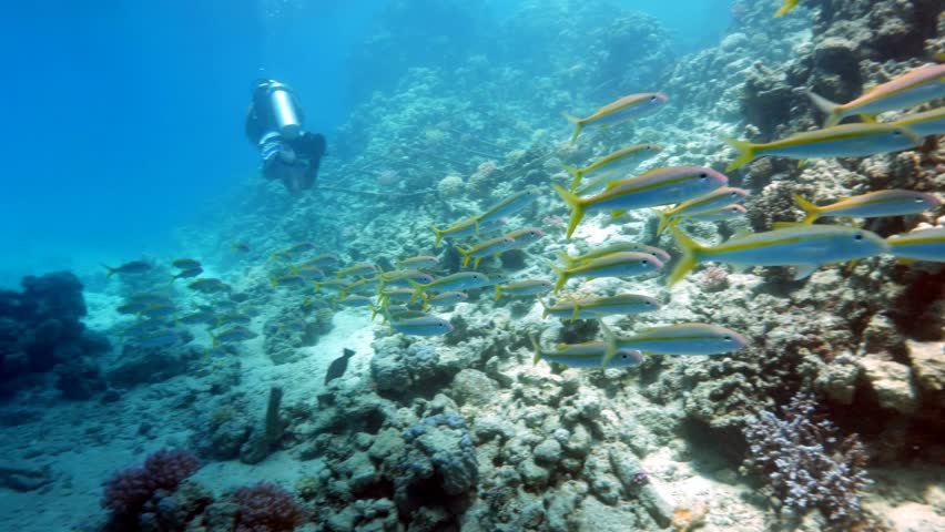 Large Shoal of Yellowfin Goatfish (Mulloidichthys vanicolensis), among scuba divers in the Red Sea.