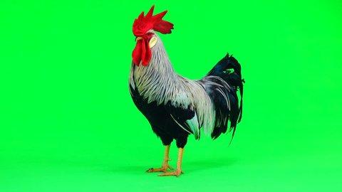 grey cock on green screen