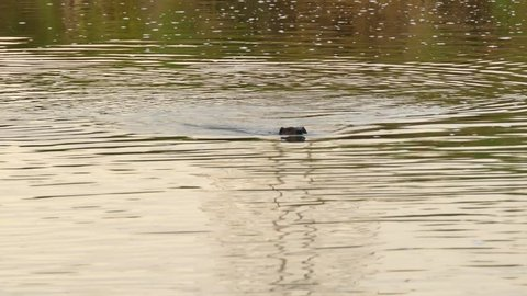 Two beavers swimming in river with head poking out at dawn