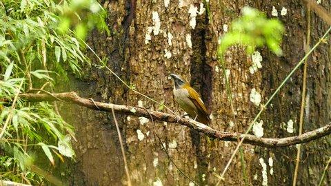 Buff-Throated Saltator Saltator Maximus exotic bird perched on branch