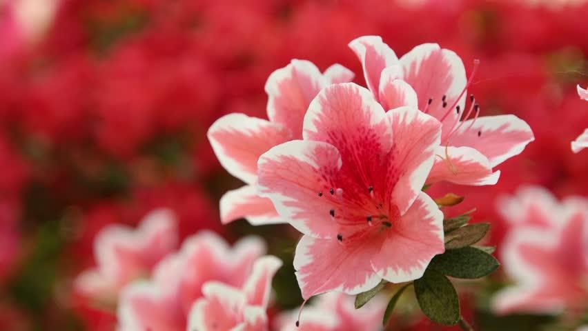 beautiful pink Azaleas (Rhododendron) flowers in springtime.