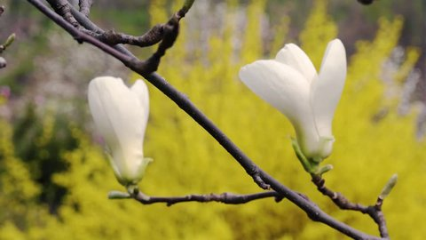 white magnolia flowers, flowers of white magnolia,white magnolia, white Magnolia flowers on tree branch, Magnolia tree blossom