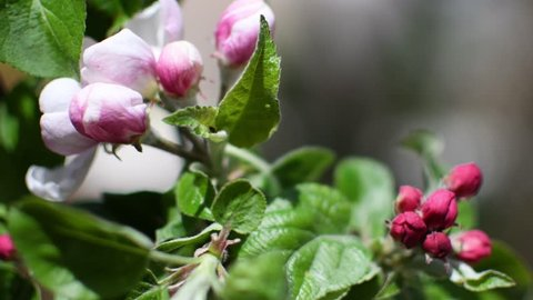 Close up of Pink apple blossom flowers on an apple tree