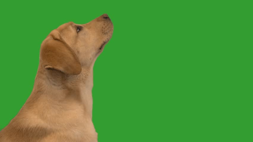 Labrador muzzle on the green screen, slow motion | Shutterstock HD Video #1010591900