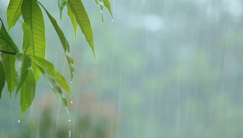 Water drops cascade from green leaves during heavy rain  | Shutterstock HD Video #1010592800