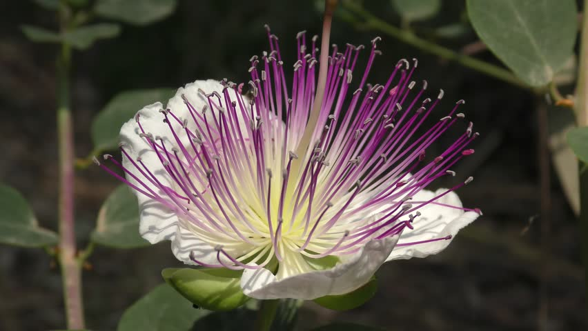 Capparis spinosa, the caper bush, or Flinders rose, is a perennial plant that bears rounded, fleshy leaves and large white to pinkish-white flowers. Used as pickled condiment in salads. Wind.
