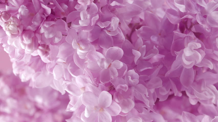 Lilac flowers bunch background. Beautiful opening violet Lilac flower Easter design closeup. Beauty fragrant tiny flowers time lapse open closeup.
