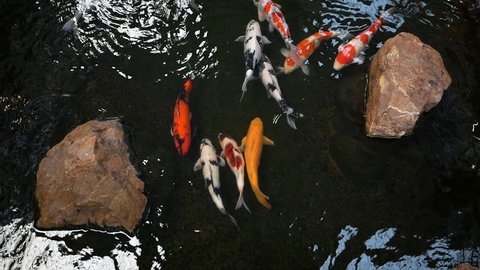 Top view koi fish (Crap) swimming in pond