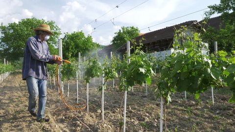 Man with hat or vintner spraying pesticides on vineyard. Working at farm in agriculture or horticulture. Vine or Wine production concept.