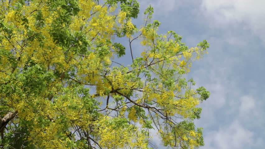 Golden shower or Cassia fistula flower in summer sky, stock footage