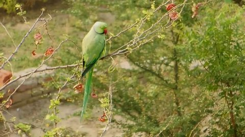 Parrot rose-ringed parakeet sitting on a tree branch twig