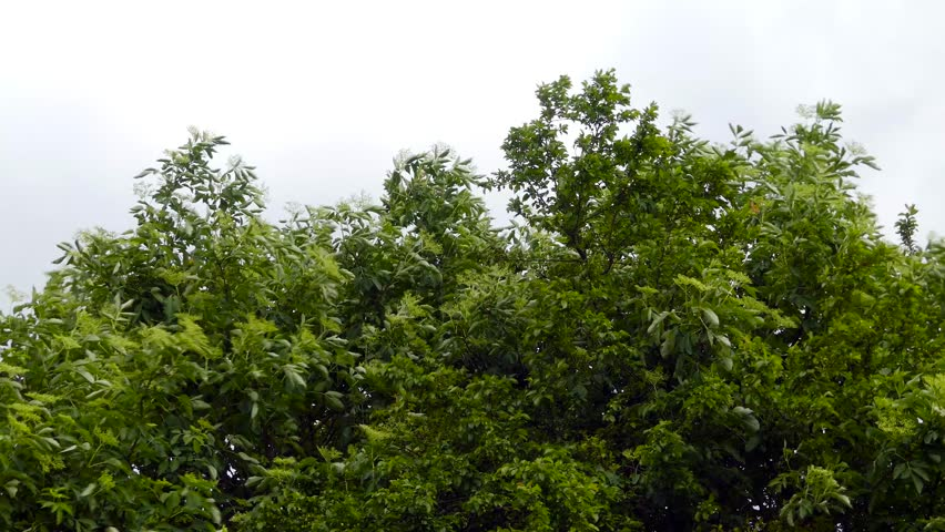 Wind blowing the elderflower tree, moving storm clouds on the sky.