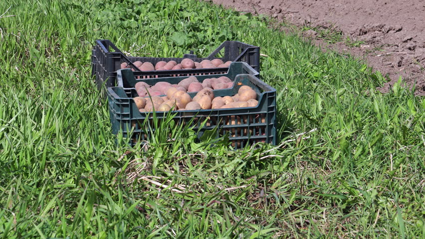 Box with patatoes on the ground in the grass by the garden for planting, spring work