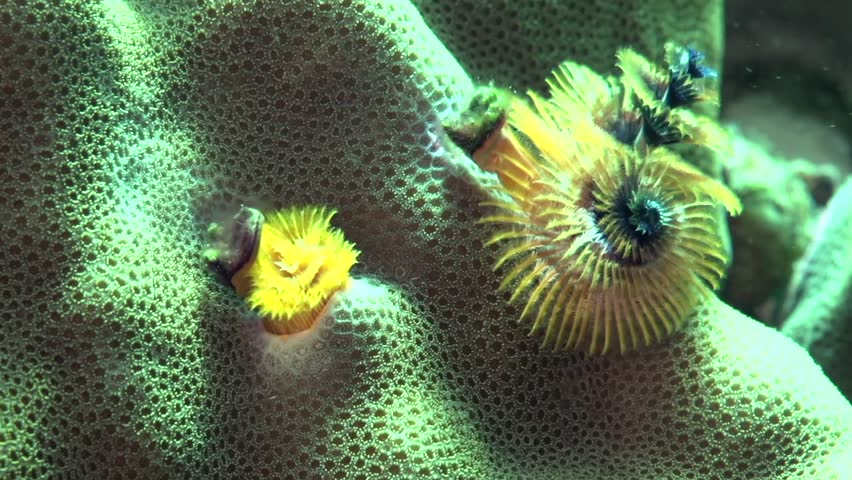 Christmas tree worm (Spirobranchus sp1) in coral on Apo island Philippines.
