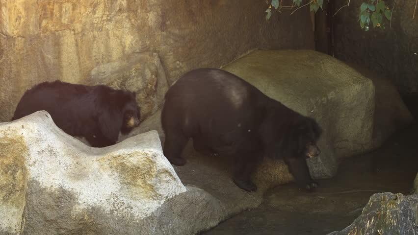 Mature bear video