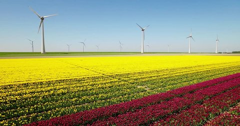 Typical Dutch Wind / Mills Turbines in the sea with Yellow Tulip Field on the Foreground