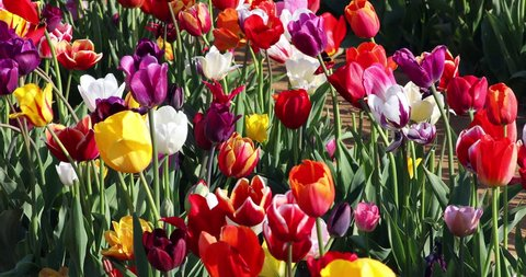 Colorful tulips in the farm field sway in the wind during the Tulip Festival in spring.