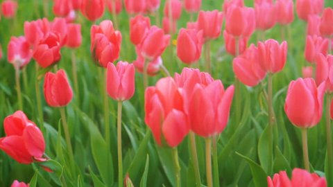 Beautiful pink tulips sway in the wind.