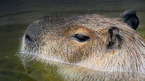 Capybara in water portrait closeup
